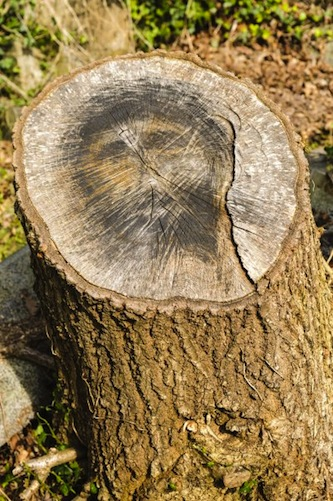 Face of Jesus appears on tree stump